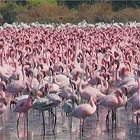 """Hơn 150.000 con chim """"nhuộm hồng""""nhánh sông"""