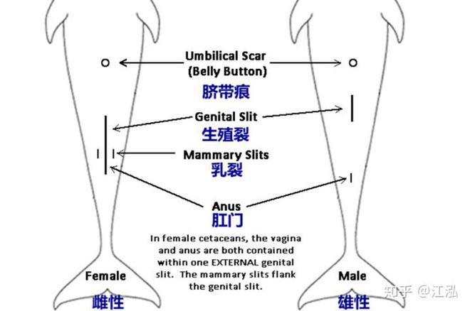 So sánh cấu trúc con đực và cái của bộ cá voi.