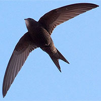 """Loài chim """"độc nhất vô nhị"""" có thể bay 10 tháng không cần hạ cánh"""