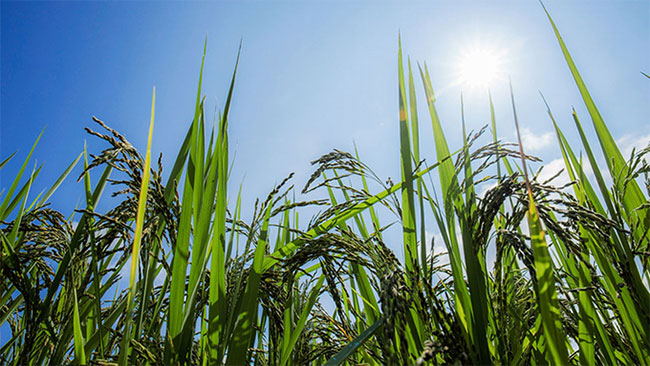 China genetically engineered rice to increase productivity