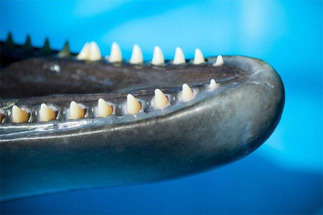 Răng của cá heo không thích hợp để nhai.