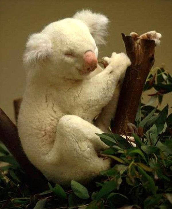 Gấu túi bạch tạng