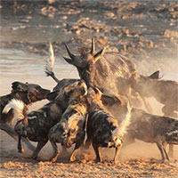 """Vì sao chó hoang châu Phi được coi là """"thợ săn đỉnh nhất""""?"""