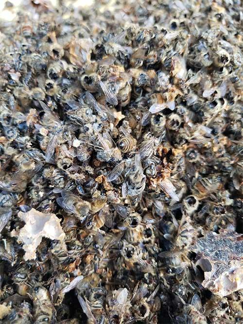 Những con ong mất đầu trong đàn ong của ông Ted McFall.