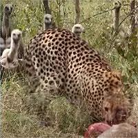 Kền kền bao vâycướp mồi của báo săn