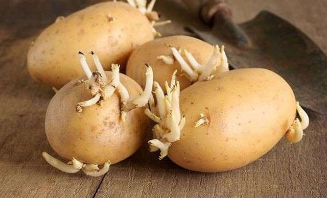 Cành và mầm khoai tây