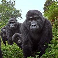 Lần đầu quay được cảnh khỉ đột biết… hát