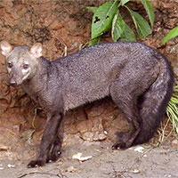 """Bí ẩn về """"ma chó vùng Amazon"""" lần đầu được giải đáp"""