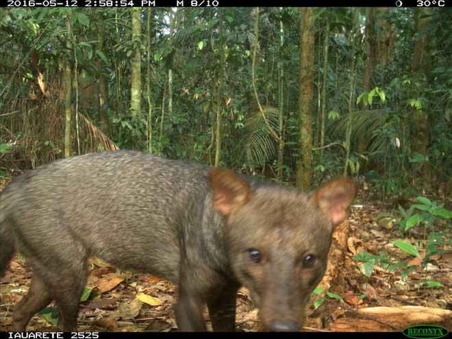 Bẫy ảnh của ông Rocha và các cộng sự chụp được hình ảnh của một con chó tai ngắn trong rừng Amazon.
