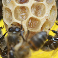 """""""Bí ẩn sinh học"""" ở loài ong mật Nam Phi"""