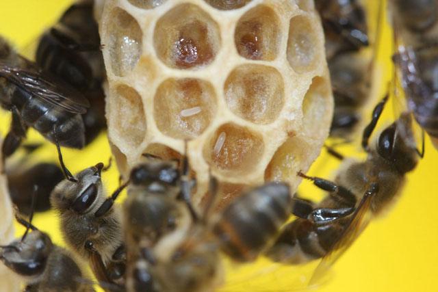 Loài ong mật Nam Phi (Cape Honey).
