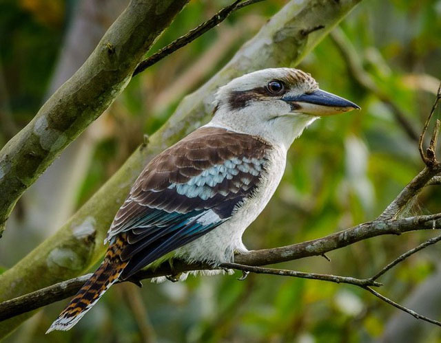 Loài chim này còn có khả năng quyết định giới tính của con non