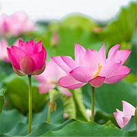 Tại sao hoa sen trở thành biểu tượng của nhà Phật?