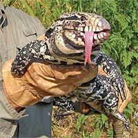 Thằn lằn ăn thịt khổng lồ hoành hành ở Mỹ