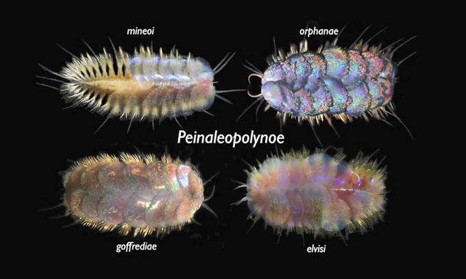 Bốn loài giun biển mới thuộc chi Peinaleopolynoe.