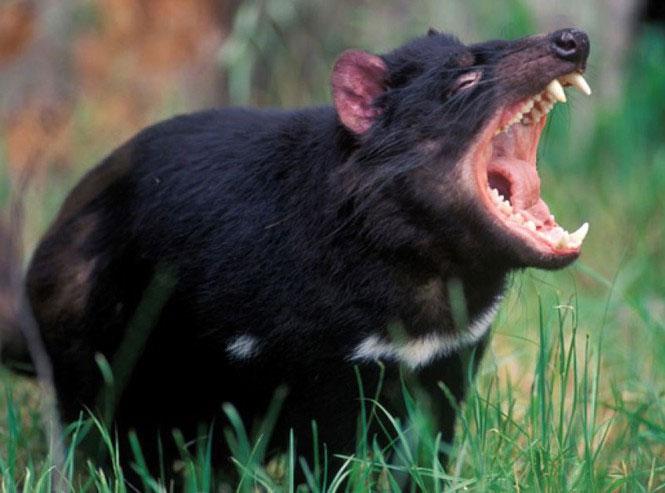 Quỷ Tasmania dự trữ gần như toàn bộ lượng mỡ của mình ở phần đuôi.