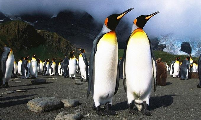 Chim cánh cụt hoàng đế ở Nam Cực.