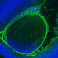 Khoa học vừa tạo ra chuột mang tế bào người