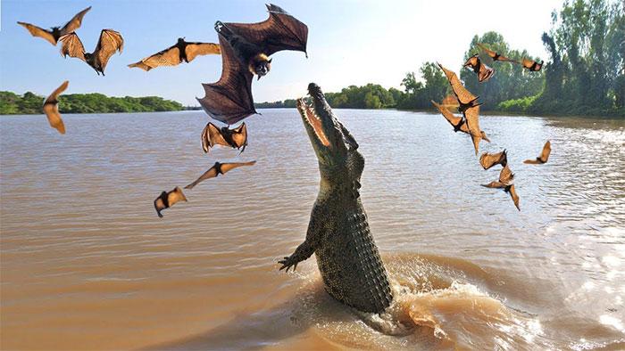 Đôi khi cá sấu phải săn cả những con mồi nhỏ bé khi nguồn thức ăn khan hiếm.
