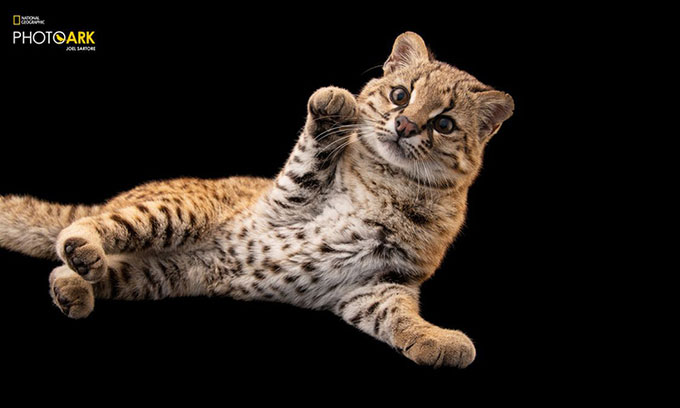 Ảnh chụp mèo đốm Kodkod trong Photo Ark.