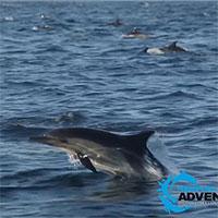 Choáng ngợp hàng nghìn con cá heo mỏ dài cùng nhau đi săn mồi