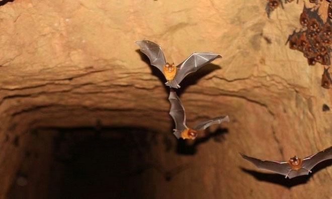 Nhóm nghiên cứu kiểm tra mẫu vật lấy từ hơn 1.000 con dơi ở Gabon.