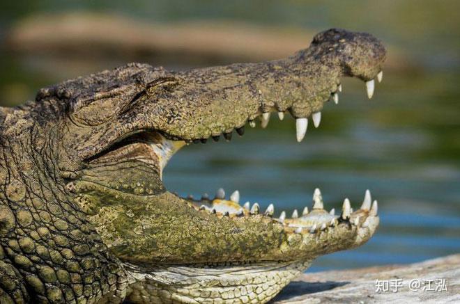 Hình dáng răng của các loài cá sấu hiện đại.
