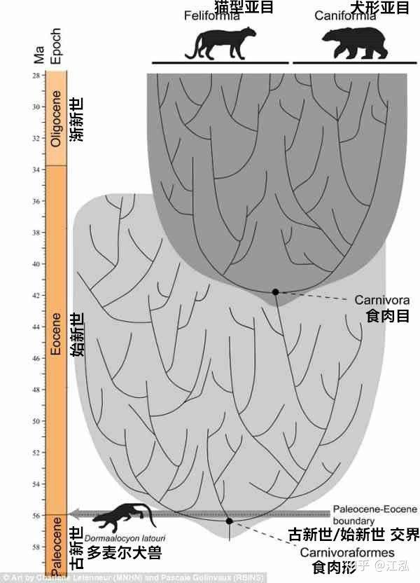 Vị trí của Dormaalocyon trên cây tiến hóa của thú ăn thịt.