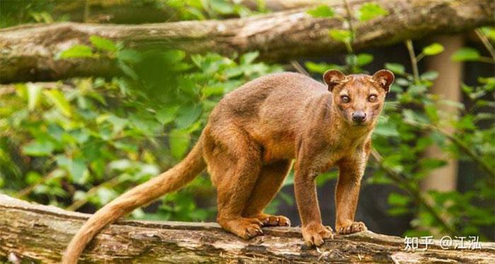 Đây là loài đặc hữu tại Madagascar, thuộc họ Eupleridae, bộ Ăn thịt, có họ hàng gần với họ Cầy mangut.