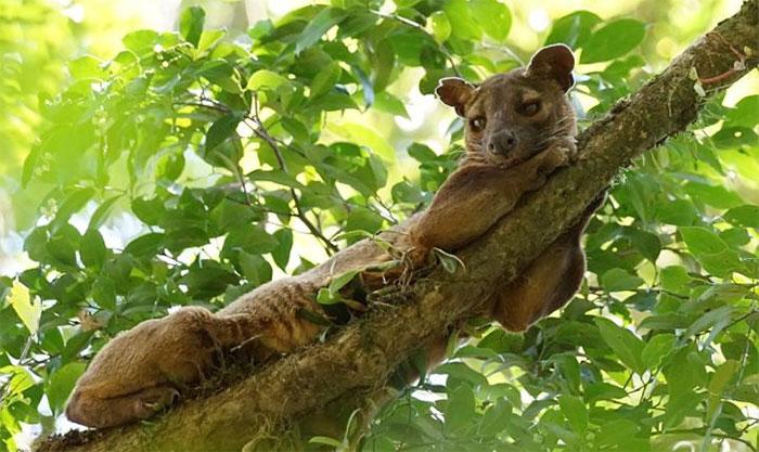 Fossa là một loài thú ăn thịt, hình dạng giống mèo.