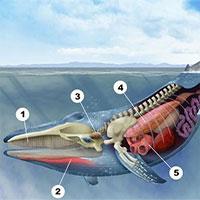 Tại sao xương vây của cá voi có năm ngón trông giống bàn tay con người?