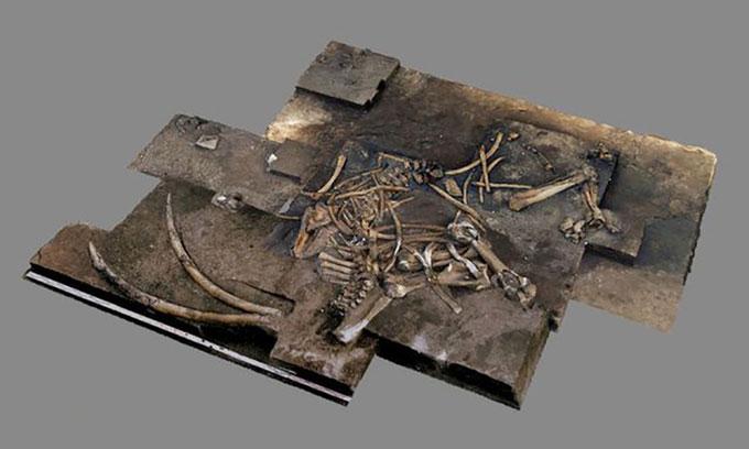 Bộ xương voi ngà thẳng gần như hoàn chỉnh được tìm thấy ở Lower Saxony, Đức.