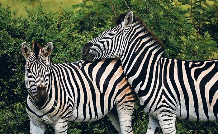 Những con ngựa vằn quá cảnh ở Thái Lan để sang Trung Quốc đã lây bệnh cho ngựa nuôi ở Thái Lan.