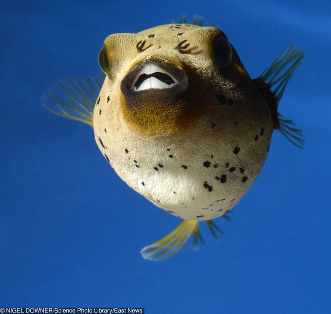 Cá nóc: Nọc độc mạnh nhất cùng khả năng ngụy trang thượng thừa