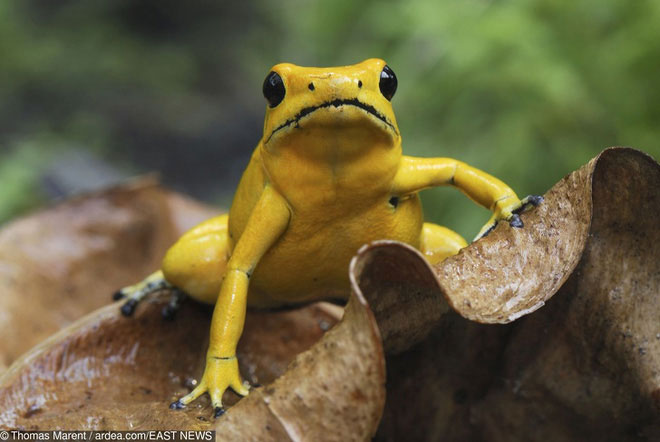 """Loài ếch độc với cách cạnh tranh """"quái đản"""""""