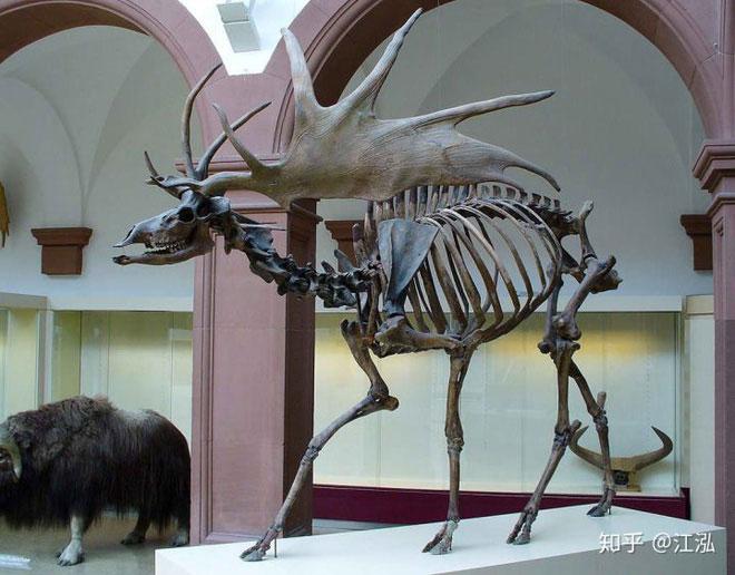 Đây là loài nai sừng tấm lớn nhất từng tồn tại trên Trái đất