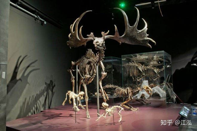Nai sừng tấm Ireland là một loài động vật có thân hình to lớn và tỷ lệ cơ thể rất hài hòa.