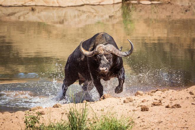 Mafia của thế giới động vật: Trâu rừng châu Phi