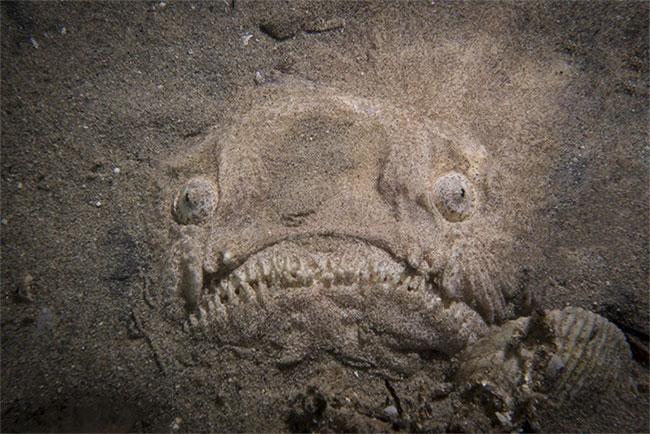 Cá mặt quỷ lẩn mình dưới cát biển.