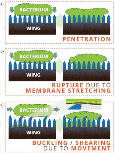 Cánh ve sầu đâm thủng lớp màng của vi khuẩn với các cột axit béo trên bề mặt của nó.