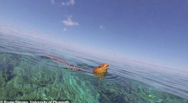 Rắn biển oliu (Aipysurus laevis) ngoi lên thở ở biển phía Tây Úc.