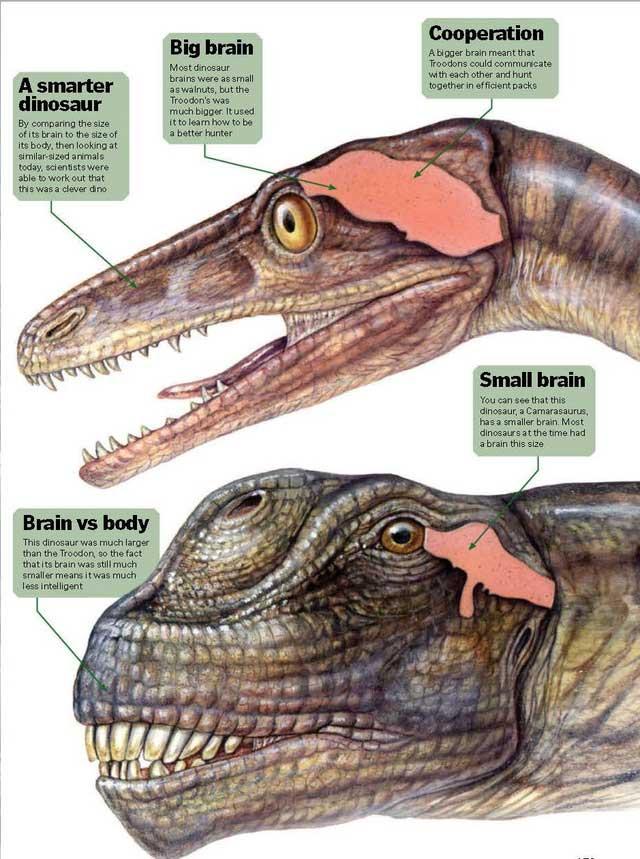 Não của khủng long cũng chỉ bằng não của các loài bò sát hiện nay như rùa, thằn lằn hoặc cá sấu.