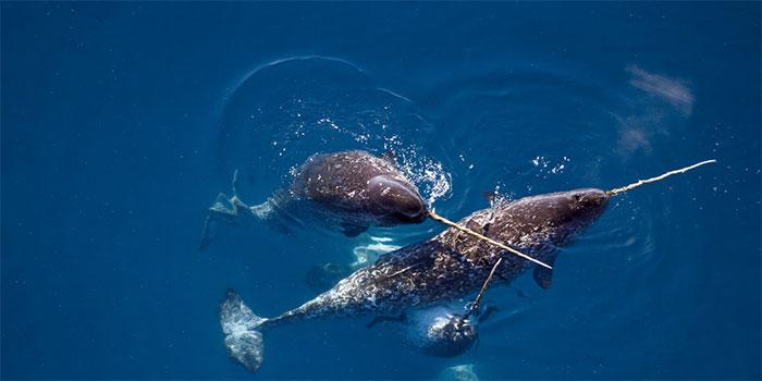 Khoa học vẫn chưa có đủ dữ liệu về âm thanh kỳ lân biển tạo ra.