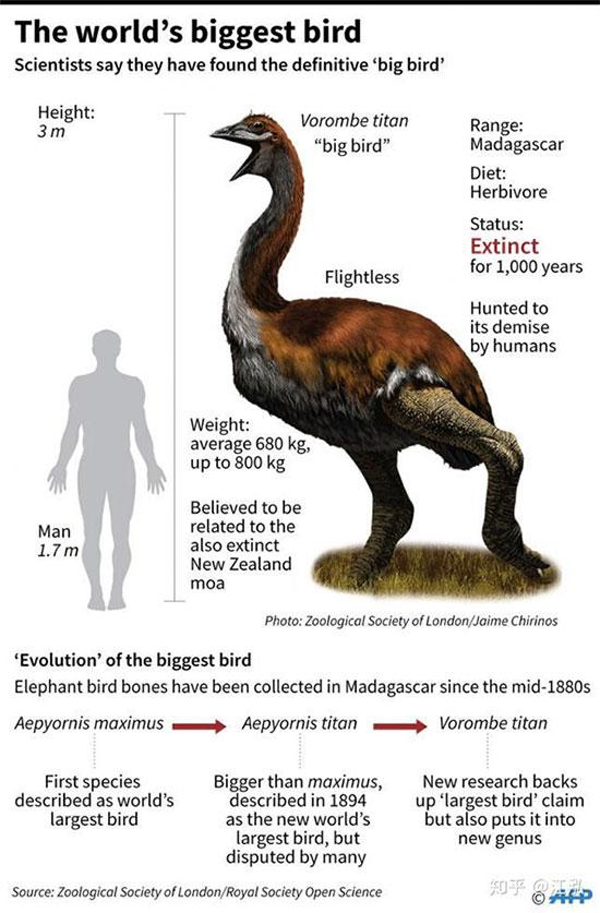 So sánh hình dạng cơ thể của chim Vorombe titan và người trưởng thành.