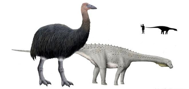 So sánh kích thước cơ thể của loài chim khổng lồ Vorombe titan với một con khủng long Magyarosaurus.