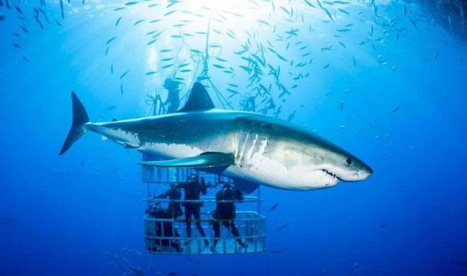 Khi bơi, thân hình cá mập lắc liên tục sang hai bên.