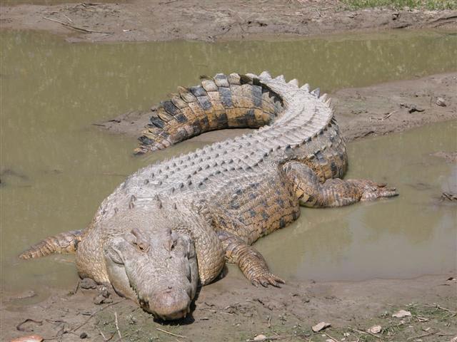 Cá sấu đảo Ramree