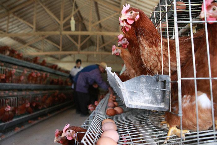 """Các nhà khoa học cho rằng, """"virus tận thế"""" sẽ bắt nguồn từ những trại nuôi gà công nghiệp."""