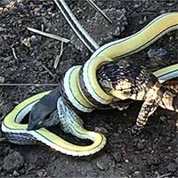 Cuộc tử chiến kéo dài hơn một tiếng giữa rắn và kỳ đà