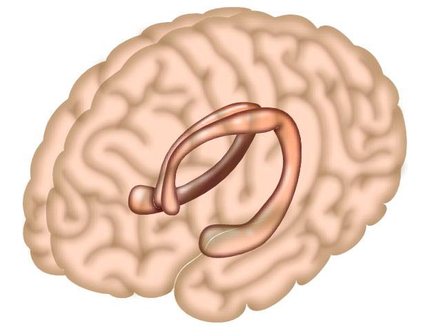 Hồi hải mã là khu vực chịu trách nhiệm chính cho sự hình thành bộ nhớ của bộ não.